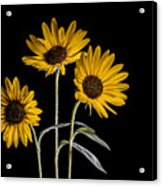 Three Sunflowers Light Painted On Black Acrylic Print