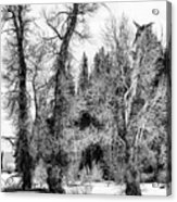 Three Trees Bw Acrylic Print