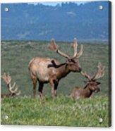 Three Tule Elk Bulls In Meadow Acrylic Print