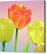 Three Tulips. Acrylic Print