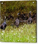 Three Turkeys Acrylic Print