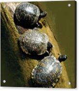 Three Turtles On A Log Acrylic Print