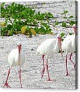 Three White Ibis Walking On The Beach Acrylic Print