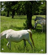 Three White Lipizzan Horses Grazing In A Field At The Lipica Stu Acrylic Print
