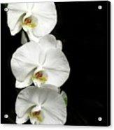 Three White Orchids Acrylic Print