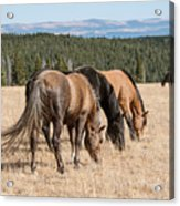 Three Wild Mustangs Acrylic Print