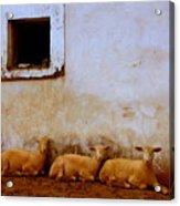 Three Wise Sheep Acrylic Print