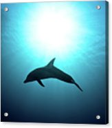 three year old Dolphin  Acrylic Print by Hagai Nativ