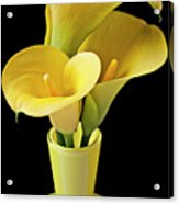 Three Yellow Calla Lilies Acrylic Print by Garry Gay