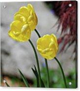 Three Yellow Garden Tulips Flowering In Spring Acrylic Print