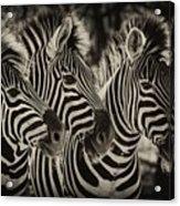 Three Zebra Acrylic Print