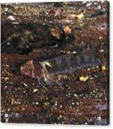 Threefin Blennie Like Fish On Log Acrylic Print