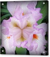 Thrill Of The Frill Acrylic Print