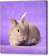 Thump Gorgeous Dwarf Rabbit Stamps His Foot  Acrylic Print