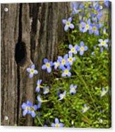 Thyme-leaved Bluets - D008426 Acrylic Print