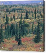 Tiaga Fall Colors, Tundra And Spruce Acrylic Print