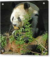 Tian Tian Hanging Out In Panda Man Cave Acrylic Print