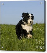 Tibetan Terrier Puppy Acrylic Print