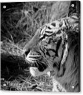 Tiger 2 Bw Acrylic Print