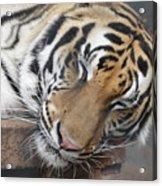 Tiger 2 Acrylic Print