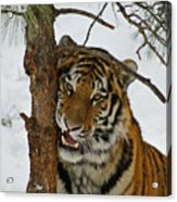 Tiger 3 Acrylic Print by Ernie Echols