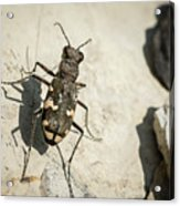 Tiger Beetle Looking For Prey On A Stone Acrylic Print