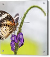 Tiger Butterfly Perched On A Flower Acrylic Print