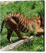 Tiger Clawed Acrylic Print