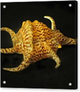 Tiger Conch Seashell Acrylic Print