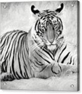 Tiger Cub At Rest Acrylic Print