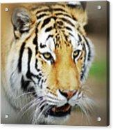 Tiger Eyes Acrylic Print