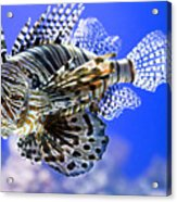 Tiger Fish Acrylic Print