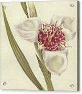 Tiger Flower   Tigridia Pavonia Alba Acrylic Print