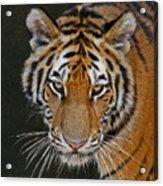 Tiger Hunting Acrylic Print