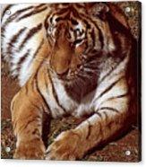 Tiger I Acrylic Print