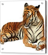 Tiger In Repose Acrylic Print