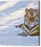 Tiger In The Snow Acrylic Print