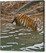 Tiger In The Water Acrylic Print