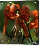 Tiger Lilly Acrylic Print