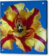 Tiger Lily 2 Acrylic Print