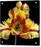 Tiger Lily 3 Acrylic Print