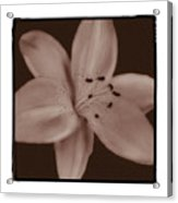 Tiger Lily 8 Acrylic Print