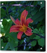 Tiger Lily In June 2018 Acrylic Print