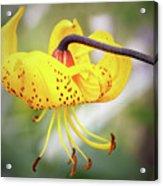 Tiger Lily. Acrylic Print