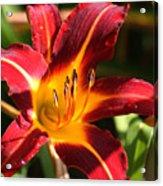 Tiger Lily0064 Acrylic Print