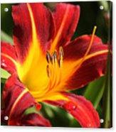 Tiger Lily0170 Acrylic Print