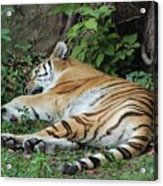 Tiger- Lincoln Park Zoo Acrylic Print