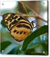 Tiger Longwing Butterfly I Acrylic Print