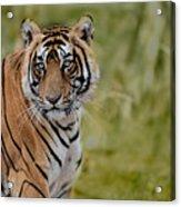 Tiger Look Acrylic Print