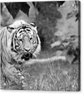 Tiger Love Acrylic Print